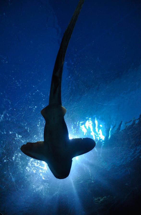 rekin pod wodą